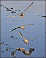 Seagull Stack at Gartmorn Dam - 24 Jan 15 Course