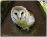 Wild Barn Owl in Clackmannanshire