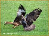 Buzzard V Red Kite -Argaty  shoot- Nice capture Ian