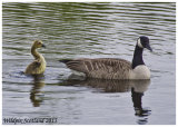 Canada Goose with Gosling- First time recorded breeding in Clackmannanshire