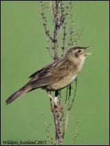 The elusive Grasshopper Warbler near Tillicoultry