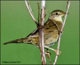 Grasshopper Warbler in Clackmannanshire- Red listed