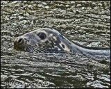 Grey Seal at Cambus weir