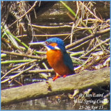 Male Kingfisher on the Kingfisher signs and habits field trip - Good shot