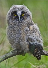 Leo the Long Eared Owl- Breeding site near Tillicoultry