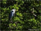 Shady Grey Heron on the River Devon near Dollar
