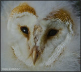 Barn Owlet (Joel) photographed whilst being ringed for BTO