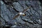 Breeding Peregrine Falcons of Central Scotland