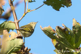 Yellow- browed Warbler
