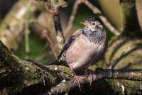 Rose coloured  Starling