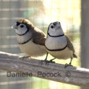 Double Bar Finches