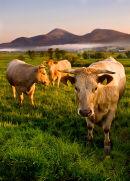 Mourne Cattle