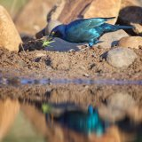Glossy Starling With Grasshopper