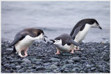 Penguin Squabble