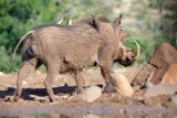 Warthog With Oxpeckers