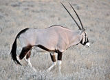 Early Morning Oryx