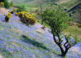 Bluebell Time in Rannerdale