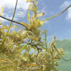 Seaweed from Below