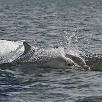 Bottlenose Dolphins Riding the Bow