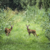 Roe Deer on the Levels