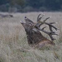 Red Deer Resting
