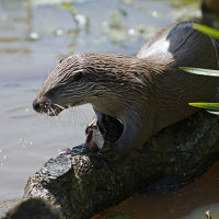 European Otter Feeding 2