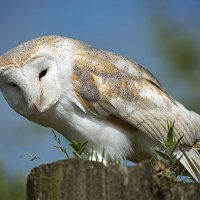 Barn Owl on a Gate Post