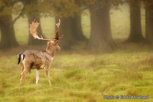 Deer on a misty morning