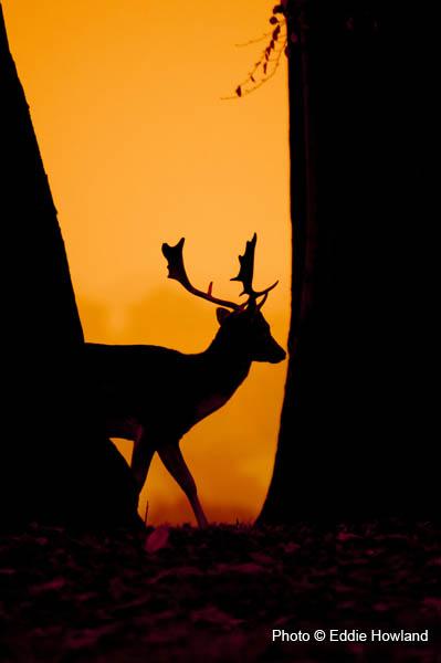 Deer at Petworth