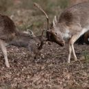Fallow Deer Rutting 2