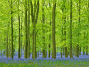 Tall Beeches and bluebells at Dockey Wood