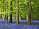 Dockey Wood Bluebells, Ashridge