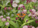 Small Tortoiseshell Butterfly on Astrantia