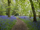 Bluebell Wood with Cherry Blossom Confetti