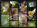 A3 Chiltern Butterfly Collage-1