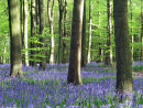 Bluebells and Beech Trees in April
