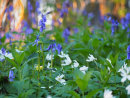 Bluebell and Anemone Enchantment