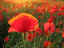 Poppy in Sunlight