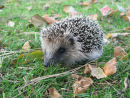 Young Hedgehog in Autumn