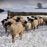Ewe waiting for food