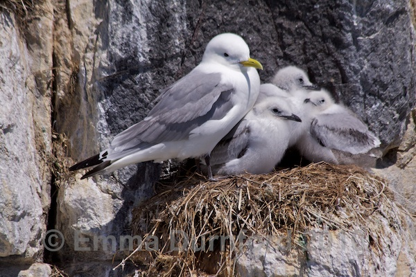 Kittiwake and chicks