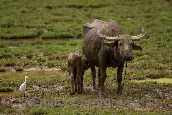 Water buffalo and calf