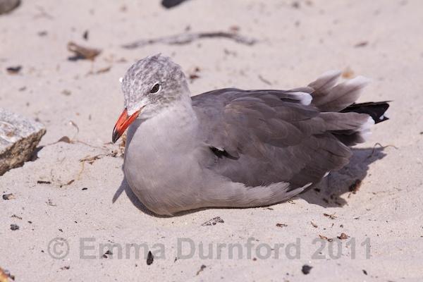 Juvenile Heerman's Gull