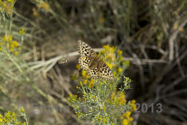 Fritillary Butterfly - photo bombed!