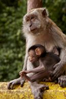 Long tailed Macaque with baby
