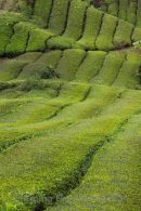 Terraced tea plantation