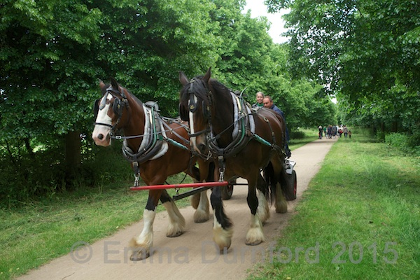 Murdoch and Tom the Shire horses