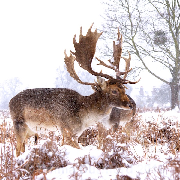 Fallow Stag in a Blizzard