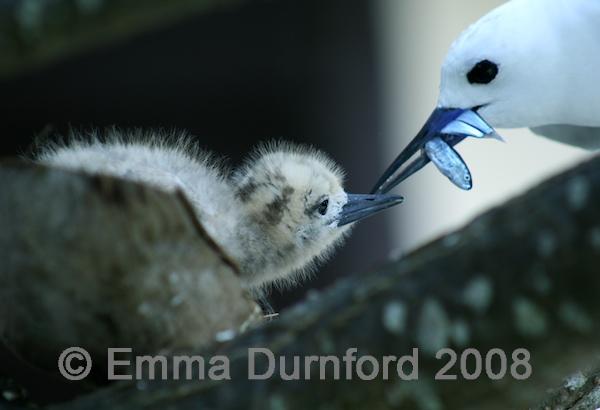 Fairy tern chick feeding