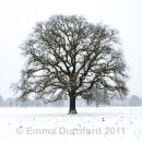 Oak tree in a Blizzard
